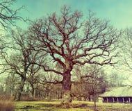 在viciniy的老橡树Ungermuizha庄园,拉脱维亚 免版税库存图片