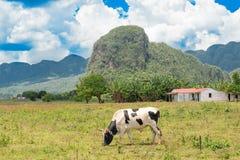 在Vinales谷的农村场面在古巴 库存图片