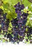 在vineqard的蓝色藤葡萄在意大利,欧洲 图库摄影