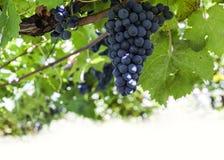在vineqard的蓝色藤葡萄在意大利,欧洲 库存照片