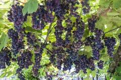 在vineqard的蓝色藤葡萄在意大利,欧洲 免版税库存照片