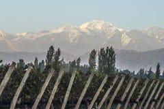 在vineyardsin迈普, Mendoza的清早 库存图片