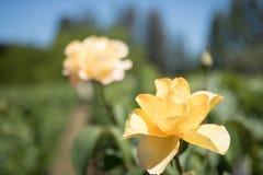 在Vinyard的黄色玫瑰 免版税库存照片