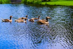 在vondelpark的鸭子游泳在运河的 免版税库存照片
