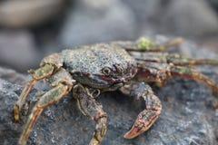 在vulcanic石头的螃蟹在海滩 图库摄影