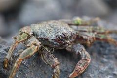 在vulcanic石头的螃蟹在海滩 免版税库存照片