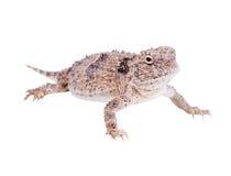 在w (Phrynosoma platyrhinos)隔绝的沙漠有角的蜥蜴 库存照片