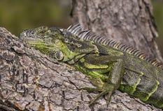 在Wakodahatchee沼泽地的鬣鳞蜥 库存图片