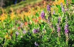 在Wallowa山的野花显示,俄勒冈,美国 免版税库存照片
