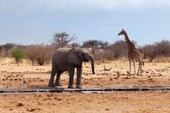 在waterhole前面的大象 免版税图库摄影