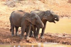 在waterhole的印度象家庭 免版税库存照片