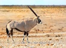 在waterhole的大羚羊羚羊属 库存图片