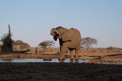 在waterhole的大象在Senyati徒步旅行队 免版税库存图片