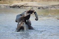 在waterhole的大象 免版税库存照片