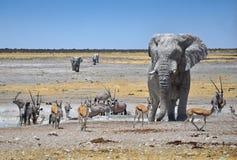 在Waterhole的大象 免版税图库摄影