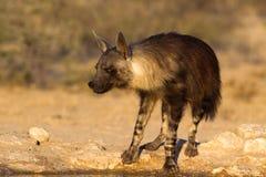 在waterhole的布朗鬣狗 库存图片