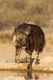 在waterhole的布朗鬣狗 免版税库存图片
