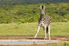 在waterhole的斑马 免版税库存照片