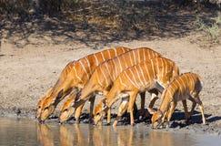 在waterhole的林羚 库存照片