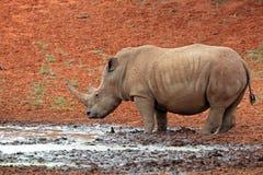 在waterhole的白犀牛 免版税库存照片