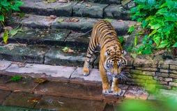 在waterhole的老虎 免版税库存照片