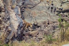 在waterhole的老虎 库存照片