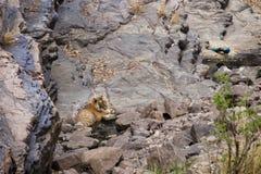 在waterhole的老虎 免版税图库摄影
