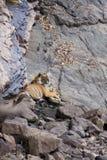 在waterhole的老虎 免版税库存图片