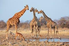 在waterhole的长颈鹿牧群- Etosha 图库摄影