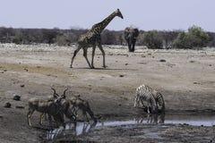 在waterhole的非洲狂放的生活 免版税库存图片