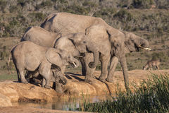在Waterhole的非洲大象 库存图片