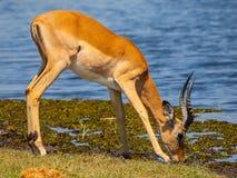 在waterhole的飞羚 免版税库存图片