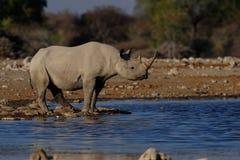 在waterhole的黑犀牛 免版税库存图片