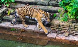 在waterhole 2的老虎 免版税图库摄影