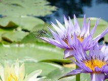 在waterlily nymphea花的蓝色蜻蜓, TX,美国 库存图片