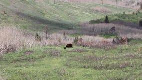 在waterton湖亚伯大加拿大的熊 股票录像