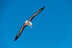 在Westpoint海岛上的黑眉毛的信天翁 库存照片