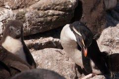 在Westpoint的Rockhopper企鹅 库存照片
