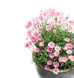 在wh隔绝的花盆的桃红色雏菊延命菊多年生植物 库存照片