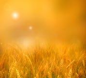 在wheatfield的发光的日落 免版税图库摄影