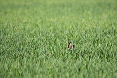 在wheatfield的欧洲野兔 库存图片