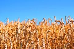 在wheatfield的蓝天 免版税图库摄影