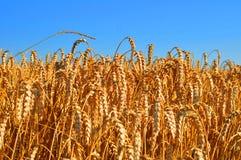 在wheatfield的蓝天 免版税库存图片