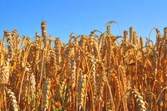 在wheatfield的蓝天 库存照片