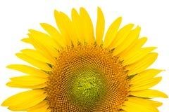 在white1隔绝的美丽的明亮的向日葵 免版税库存照片