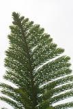 在whithe背景的美国加州红杉叶子 免版税库存照片