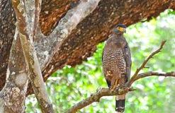 在Wilpattu国家公园,斯里兰卡的有顶饰蛇老鹰 免版税库存照片