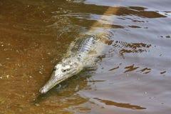 在windjana峡谷,金伯利,澳大利亚西部的Croc 库存图片