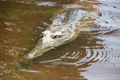 在windjana峡谷,金伯利,澳大利亚西部的Croc 免版税库存图片