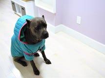 在wintercoat的狗藤茎corso意大利大型猛犬 免版税图库摄影